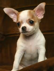 Healthcare Conditions Or Allergies Can Also Trigger Your Chihuahua To Shed Excessive Hair In The Event You Suspect