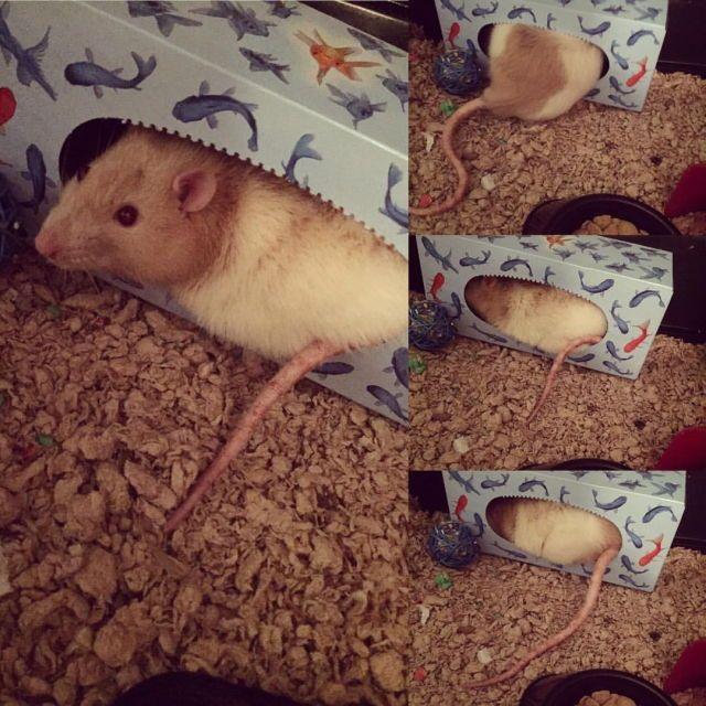 Oh My Gawd Cuteness Pet Mice Cute Rats Rat Care