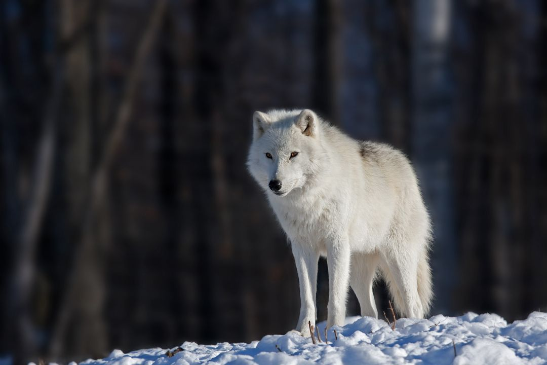 Android Iphone Desktop Wallpapers 1080p 4k 5k 59085 Wallpapers Hdwallpapers Androidwallpapers Nature Arctic Wolf Wolf Dog Wolf Predator