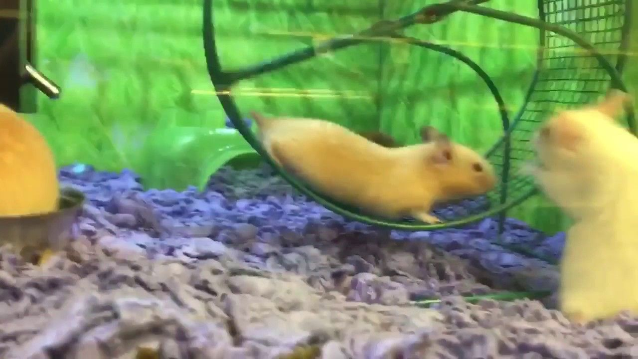 Hyper Hamster Loses His Footing on Exercise Wheel Funny