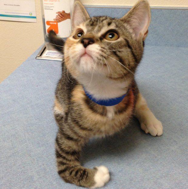 Kitten Siblings With Congenital Leg Deformities Seek Permanent Home Kitten 12 Week Old Kitten Cat Adoption