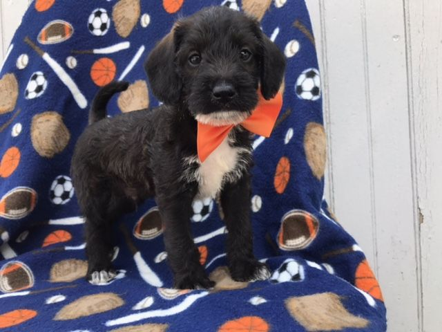 Dalmatian Poodle Miniature Mix Puppy For Sale In East Earl Pa