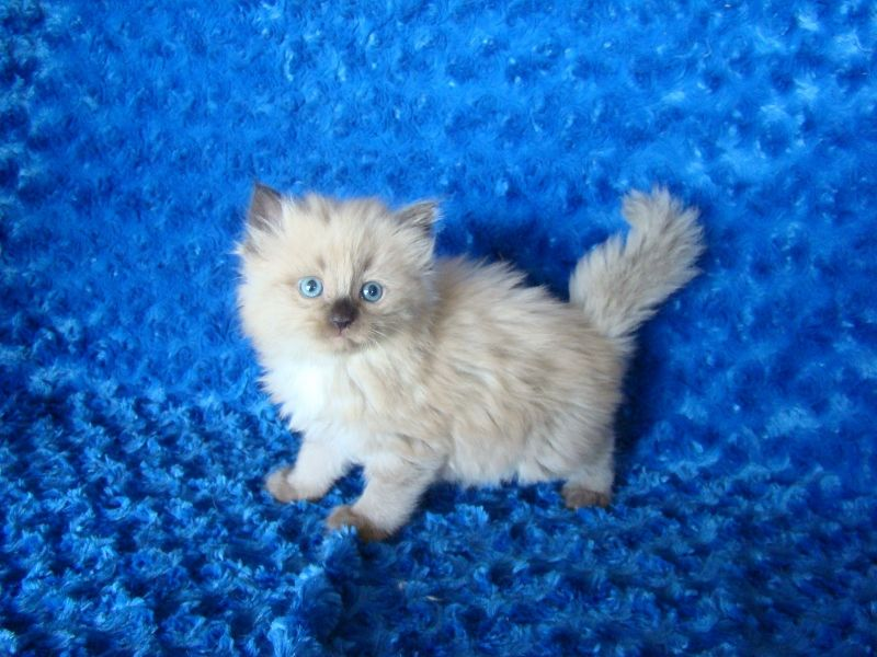 Ragdoll Kittens For Sale Buy Ragdoll Kittens Ragdoll Kitten Ragdoll Kittens For Sale Kitten For Sale