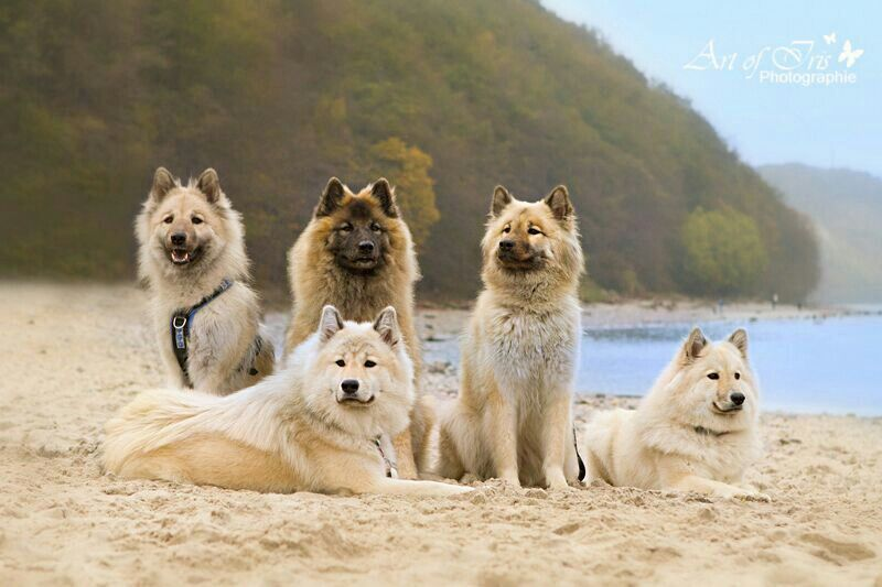 Eurasier Vom Schmetterlingsgarten Rugen Baltic Sea Cute Dogs Beautiful Dogs Dog Breeds