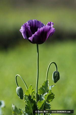 Opium poppy dark purple opium poppy flowers poppies pinterest opium poppy dark purple opium poppy flowers poppies pinterest natureza mightylinksfo