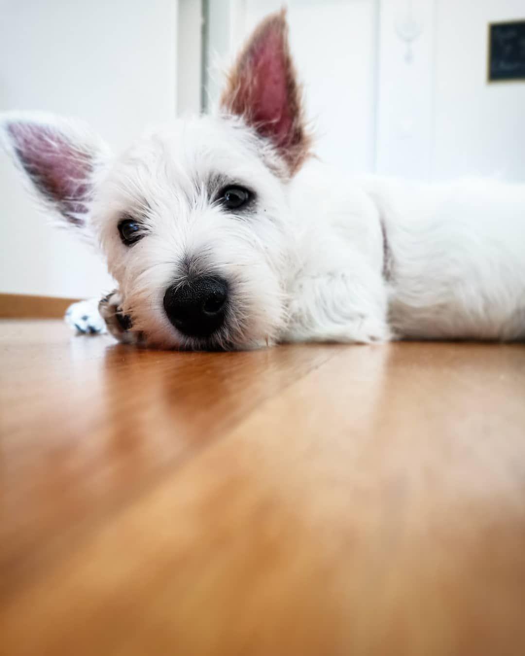 Puppy Pupper Adorable Dog Westiesofinstagram Westie Westhighlandwhiteterrier Doggo Dogsarefamily In 2020 West Highland White Terrier White Terrier Westies