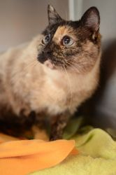 Vivian Is An Adoptable Tortoiseshell Cat In Seattle Wa Vivian Is A Beautiful Tortie Point Siamese She Was Homeless For At Tortoise Shell Cat Tortie Siamese