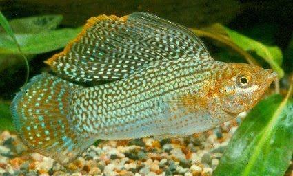 Cyprinodontiformes Poeciliidae Aquarium Fish Freshwater Aquarium Fish Tropical Fish