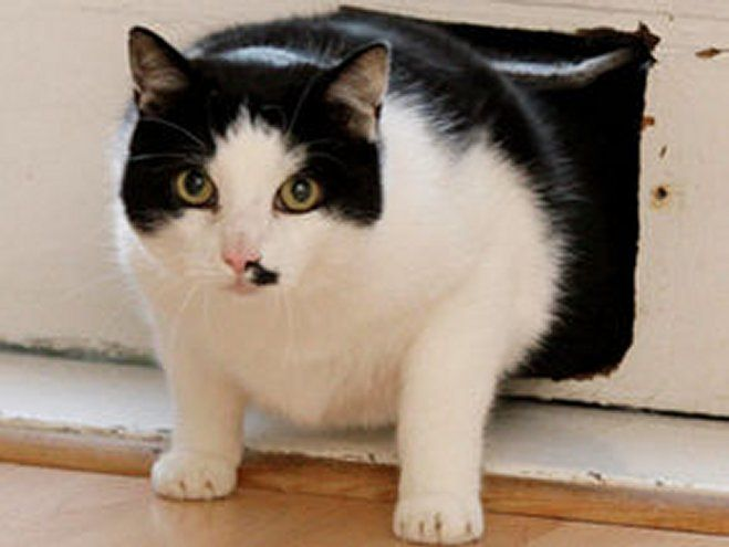 Cat flap captive Milo beats battle of bulge