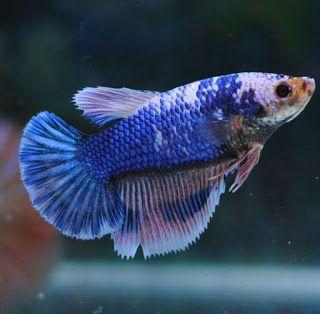 AquaBid.com - Premium Fancy