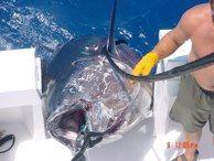 Giant tunas