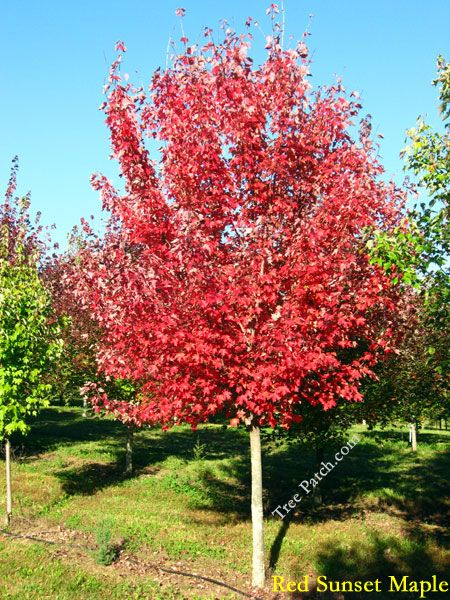 Maples Acer Rubrum Red Sunset Chokecherry Tree Beautiful Blooms Plants