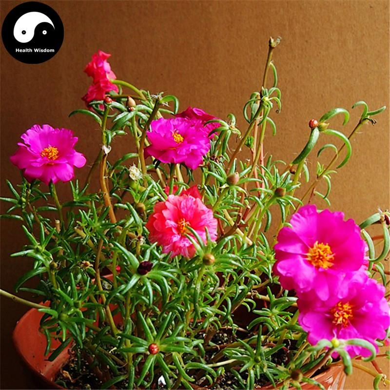 Buy portulaca grandiflora flower seeds 400pcs plant