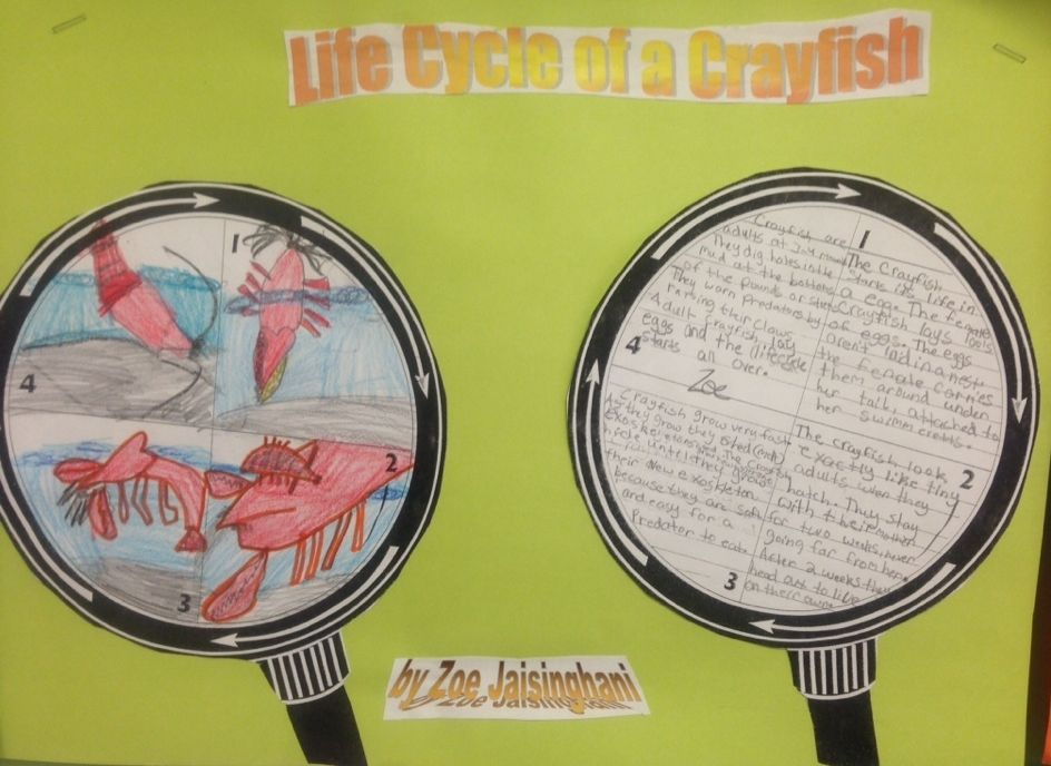 crayfish life cycle | Science Activities | Life cycles ...