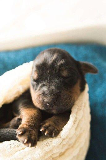 Newborn Puppie Rottweiler Newborn Puppies Rottweiler Puppies