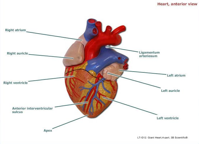 heart labeled | Anatomy/Physiology | Pinterest