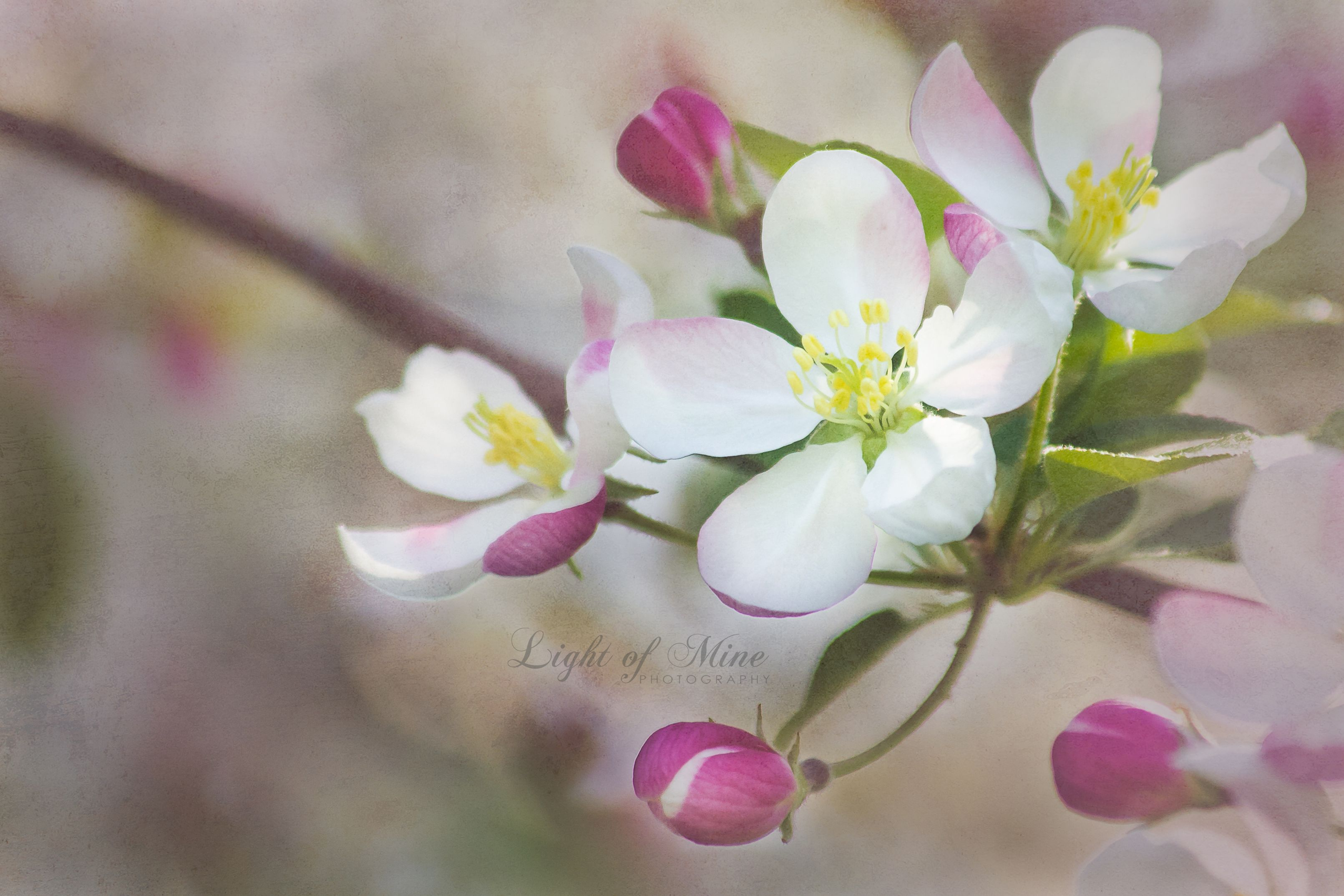 Crab Apple Tree Blossoms Nature Photography Flowers Fine Art