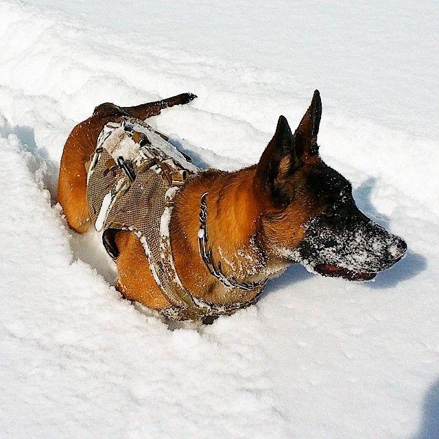 Plowin Through The Snow While Doing Scent Work Dyask9 Thirdeyek9 Theigmilitia Igmilitia Workingdog K9 Mailinois Working Dogs Belgian Malinois Malinois