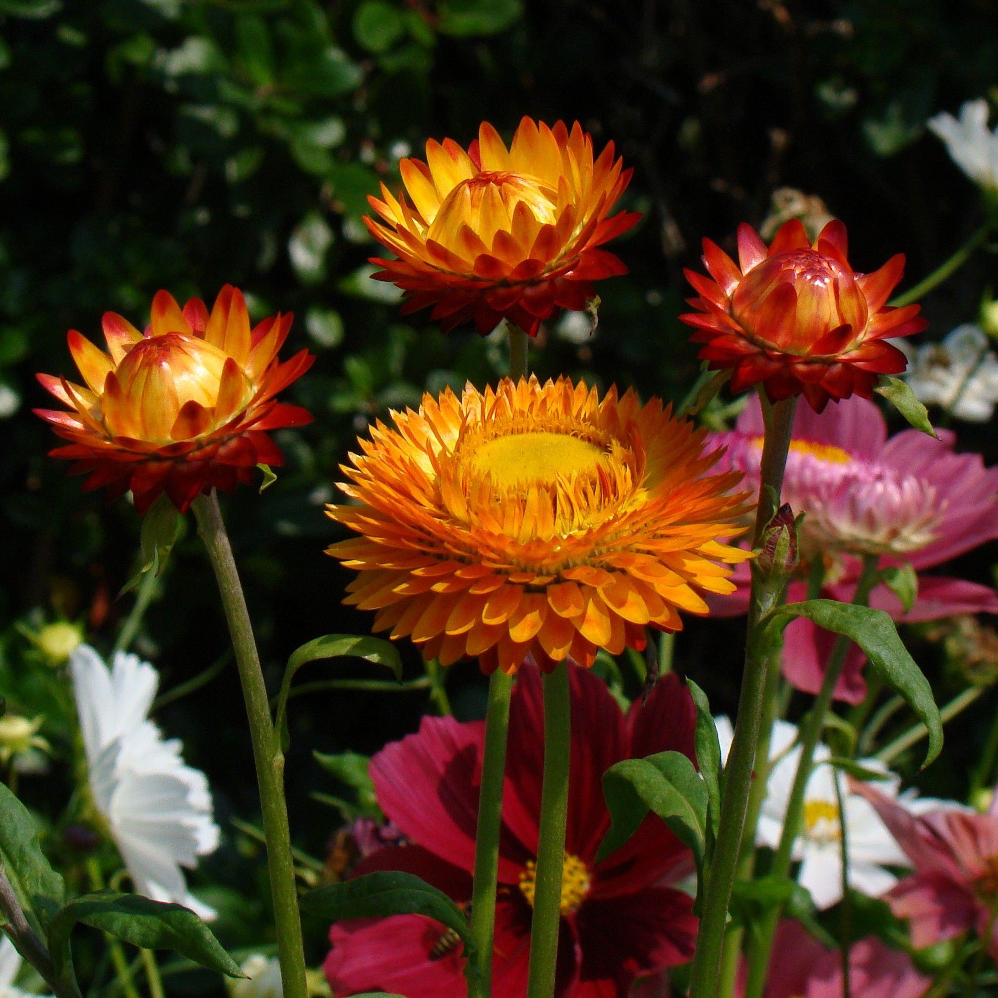 Strawflowers Annuals Flower Pinterest Victorian Gardens