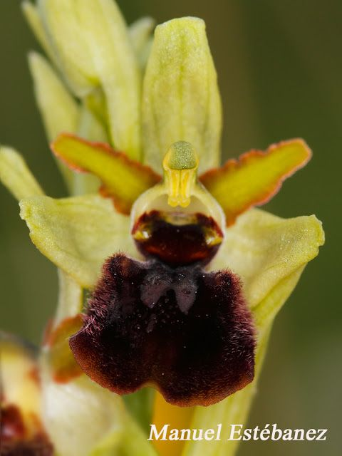 Miradas Cantábricas: Ophrys sphegodes ssp. passionis