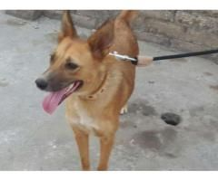 Russian Dog Female Brown Color Very Active And Brave For Sale In Rawalpindi Russian Dogs Dogs Animals
