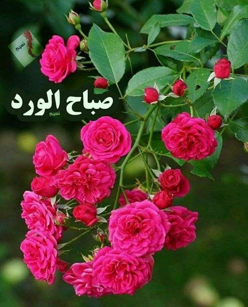 صباح الخير للذين ي زهرون الفرح في القلب حفظكم الله لنا أينما كنتم صباح الورد صباح نسيم ص Beautiful Rose Flowers Pretty Flowers Amazing Flowers