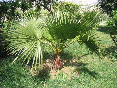 palmier nain entretien