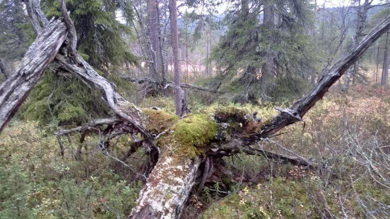Juurakko puuvanhuksen läheisyydessä