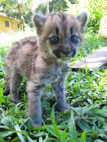 This is Luna, a baby puma that was rescued at an animal sanctuary in South America I volunteered at a few years back. - Imgur