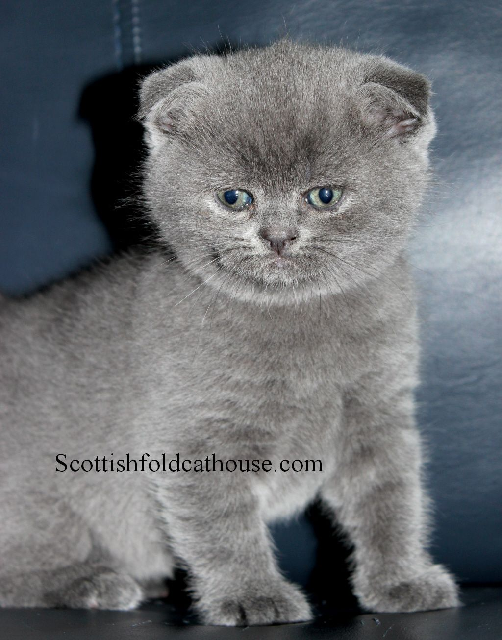 Scottish Folds And British Shorthair Kittens For Sale British Shorthair Kittens Bengal Cat For Sale Scottish Fold Kittens