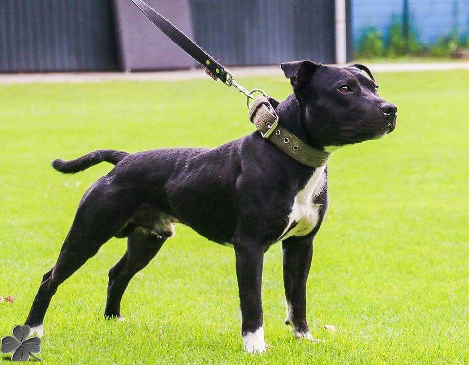 Pin By Bad Boy Gear On Staffy Bulls Staffordshire Bull Terrier All Black Pitbull Dog Cat