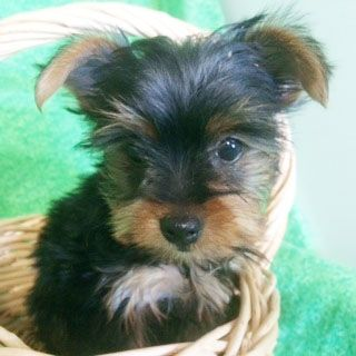 Prettiest Puppies Austin And Central Texas Yorkie Puppies For