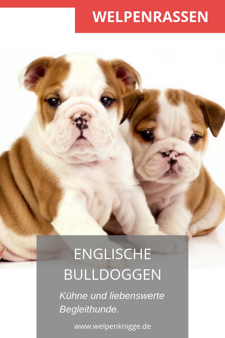Englische Bulldoggen Welpen Bulldoggen Welpen Bulldogge Englische Bulldogge