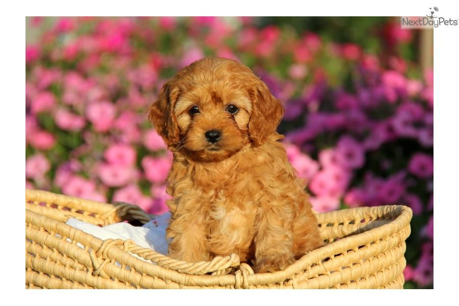Meet Male A Cute Cavapoo Puppy For Sale For 800 Duke Cavapoo Cavapoo Puppies Teddy Bear Dog Puppies