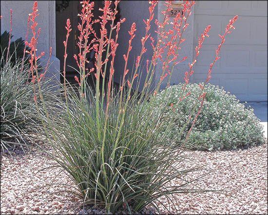 Red Yuuca For Arizona S Best Shrubs Moon Valley Nursery Phoenix