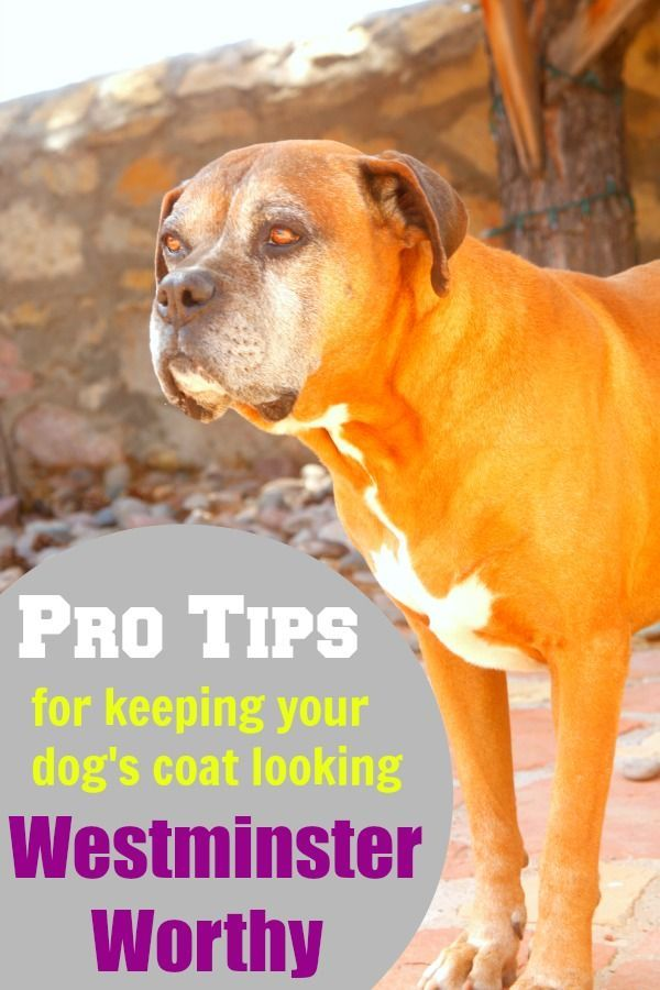 Pro Tips for Keeping your Dog's Coat Looking Westminster