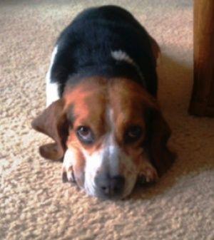 Meet Jake Adoptable At Co Beagle Rescue So Cute 3 Adopt