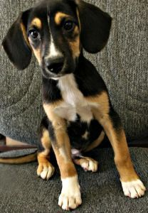 Beagle Lab Mix Pictures With Images Beagle Lab Mixes Super