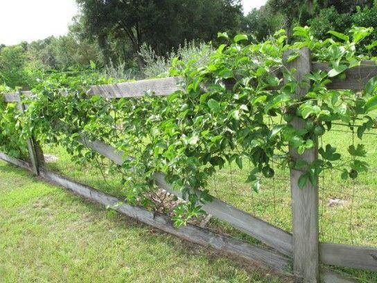 Passion Fruit Passiflora Edulis Habitat And Adaptation Fruit Bearing Trees Plants Vine Fruit