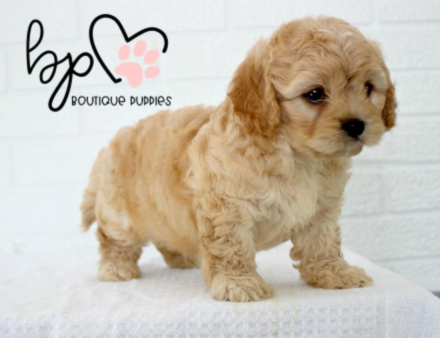 "Lil ""Penelope"" <3 -Superior Thick Coat! - Micro Cream Pomeranian - Available #cuteteacuppuppies"