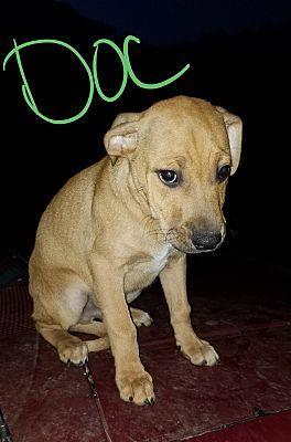 Albany, NC Boxer. Meet Doc a Pet for Adoption. Pet