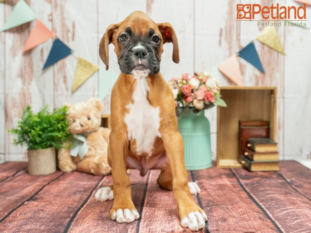 Puppies For Sale Boxer Puppies For Sale Boxer Puppies Puppies