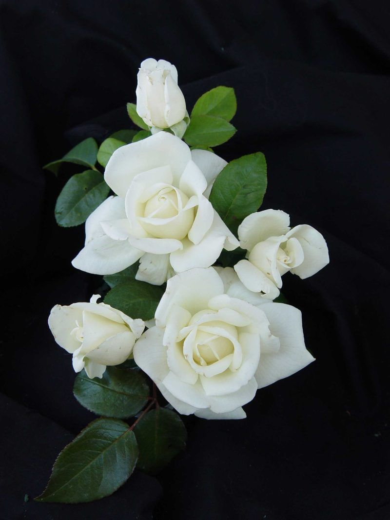 Rp Amazing Grace Hybrid Tea Large Flowered White Strong Fragrance