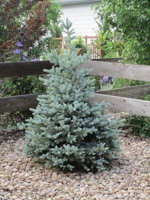 Baby Blue Eyes Spruce Landscape Plans Landscape Plan Easy Landscaping