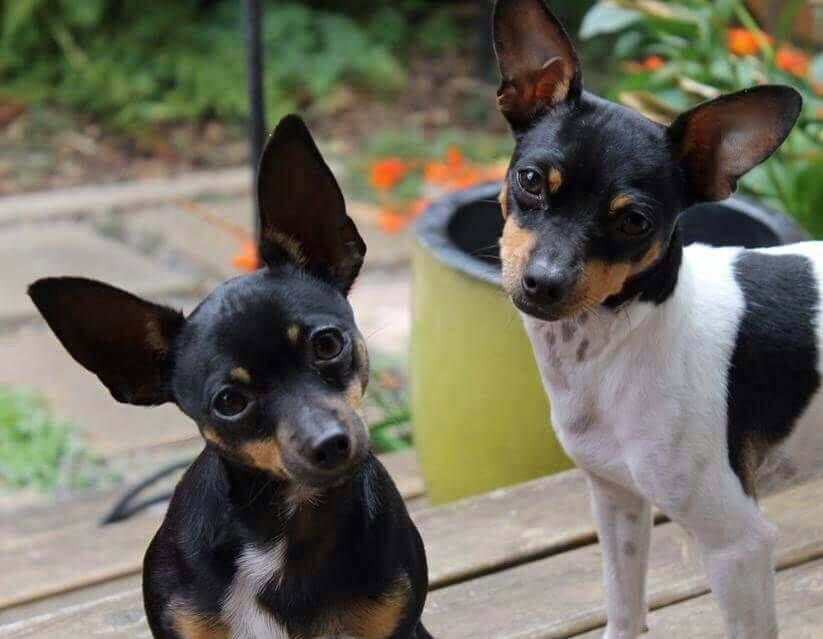 All You Need To Know About The Breeds Rat Terrier Vs Fox Terrier