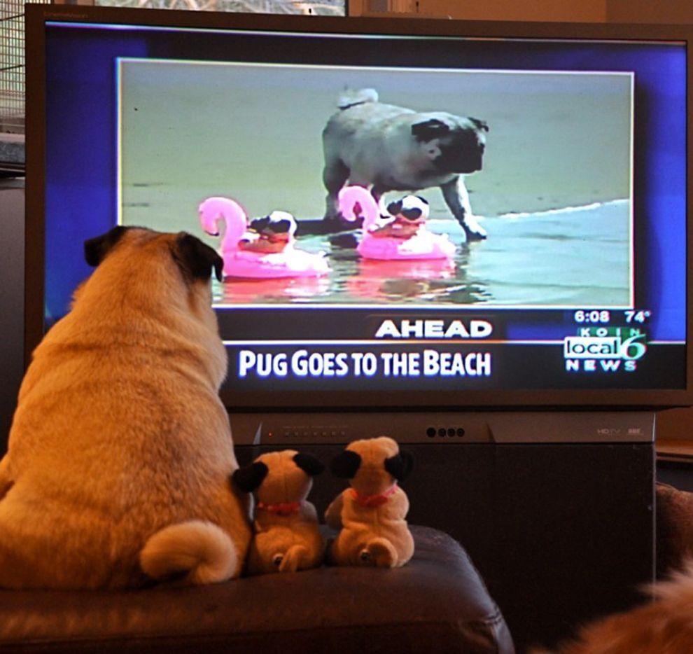 Resultado de imagen para pugs televisions