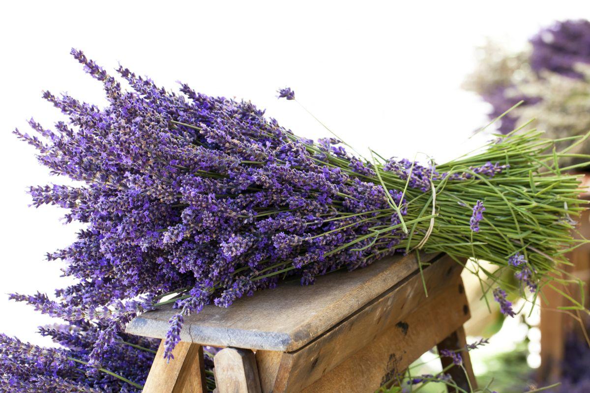 A lavanda ou alfazema lavandula angustifolia é uma planta nativa