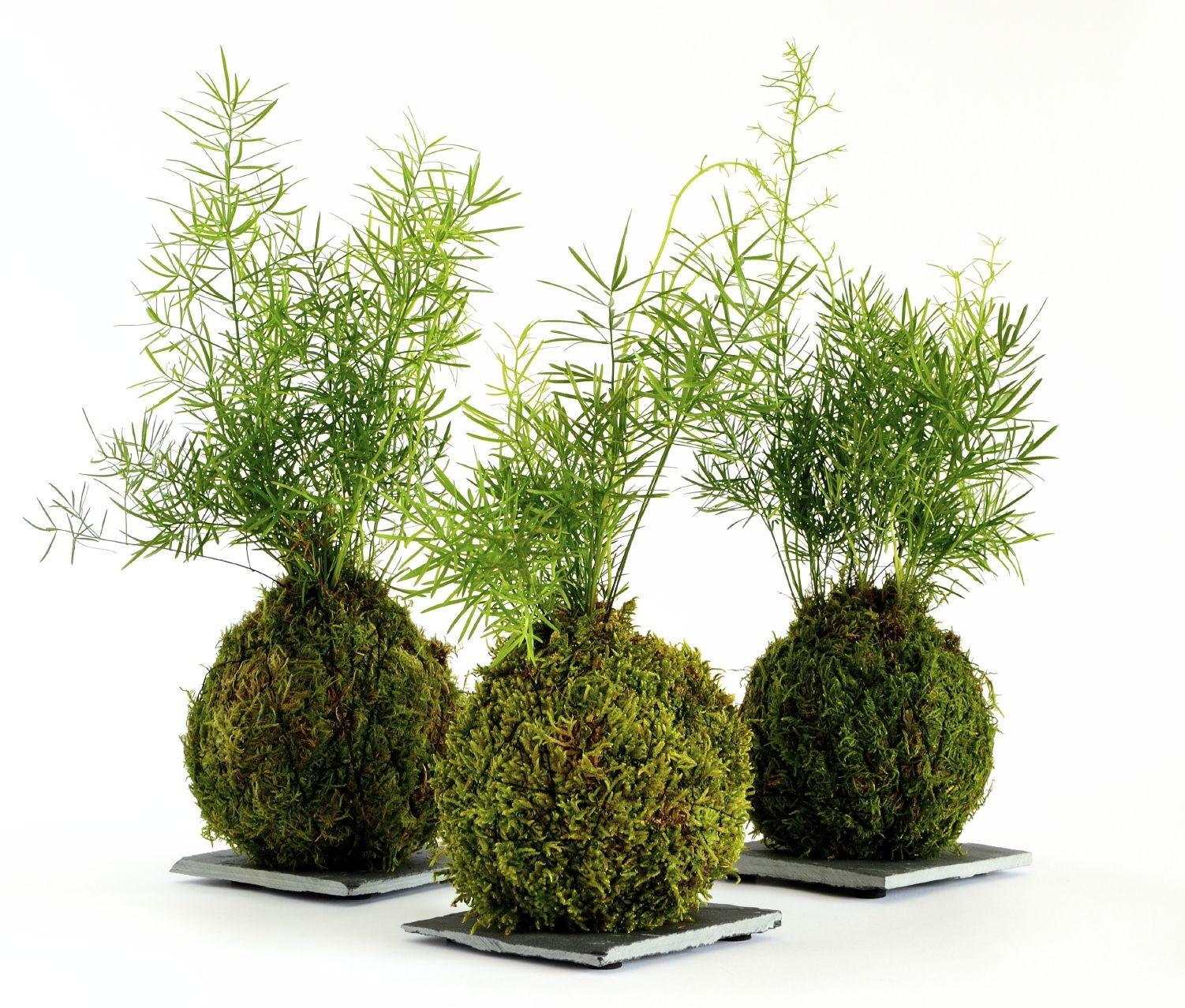 Japanese Garden Plants: How To Make A Japanese Moss Ball