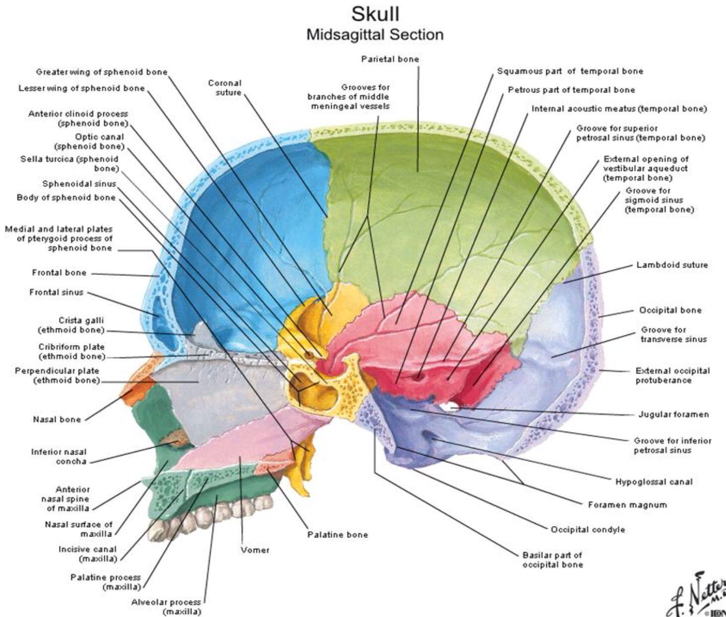 Lateral inside view of skull - Netter | Anatomy | Pinterest