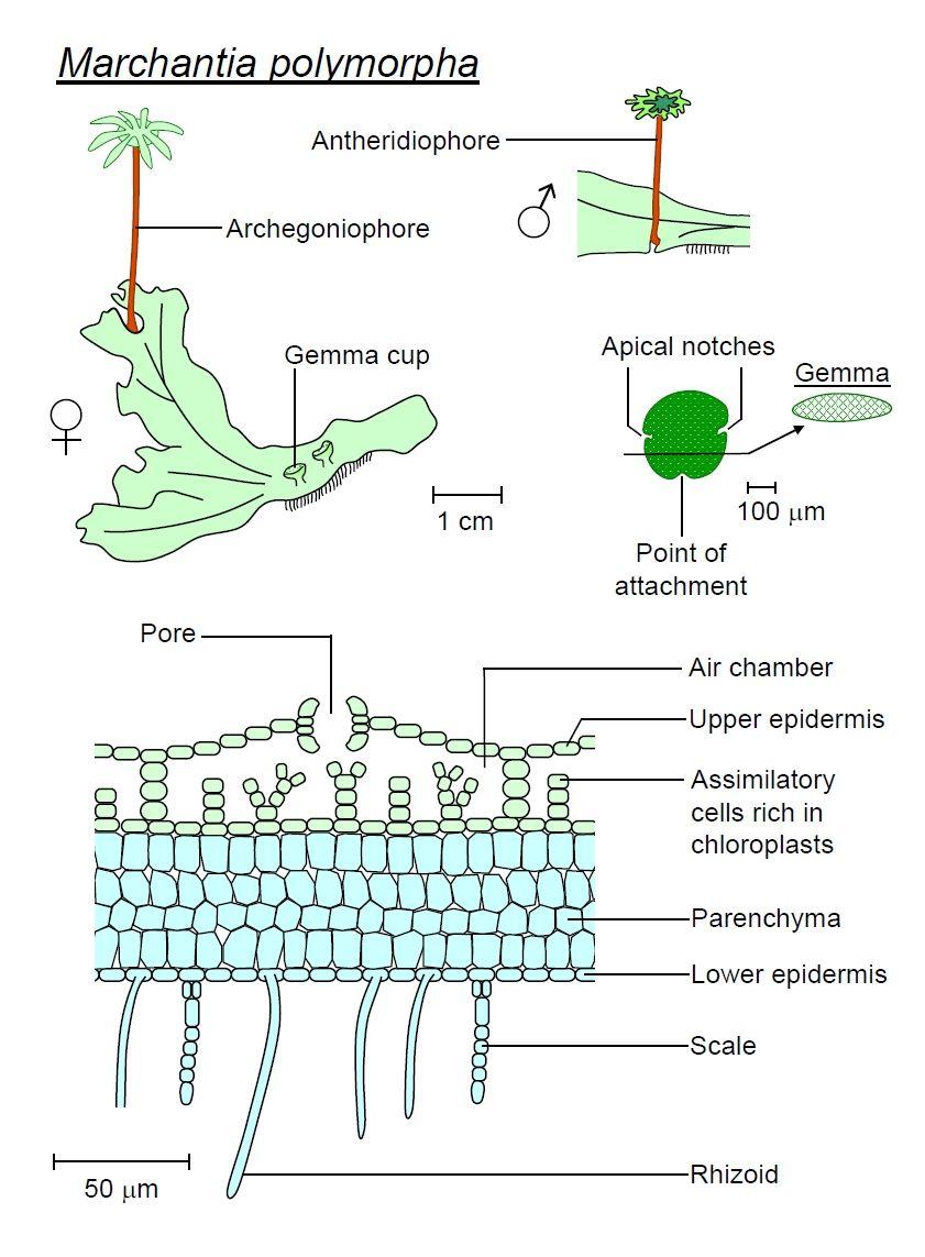 Marchantia polymorpha houseplants pinterest houseplants houseplants pooptronica